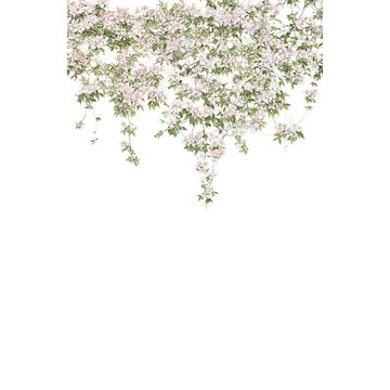 Clematis Mural White