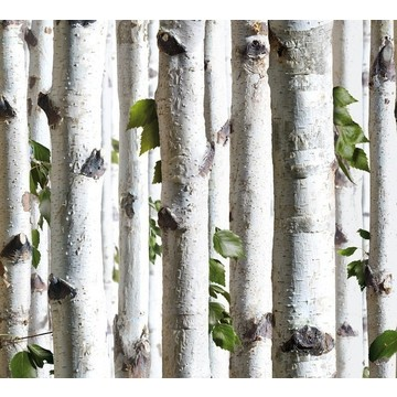 Young birches forest 8888-154